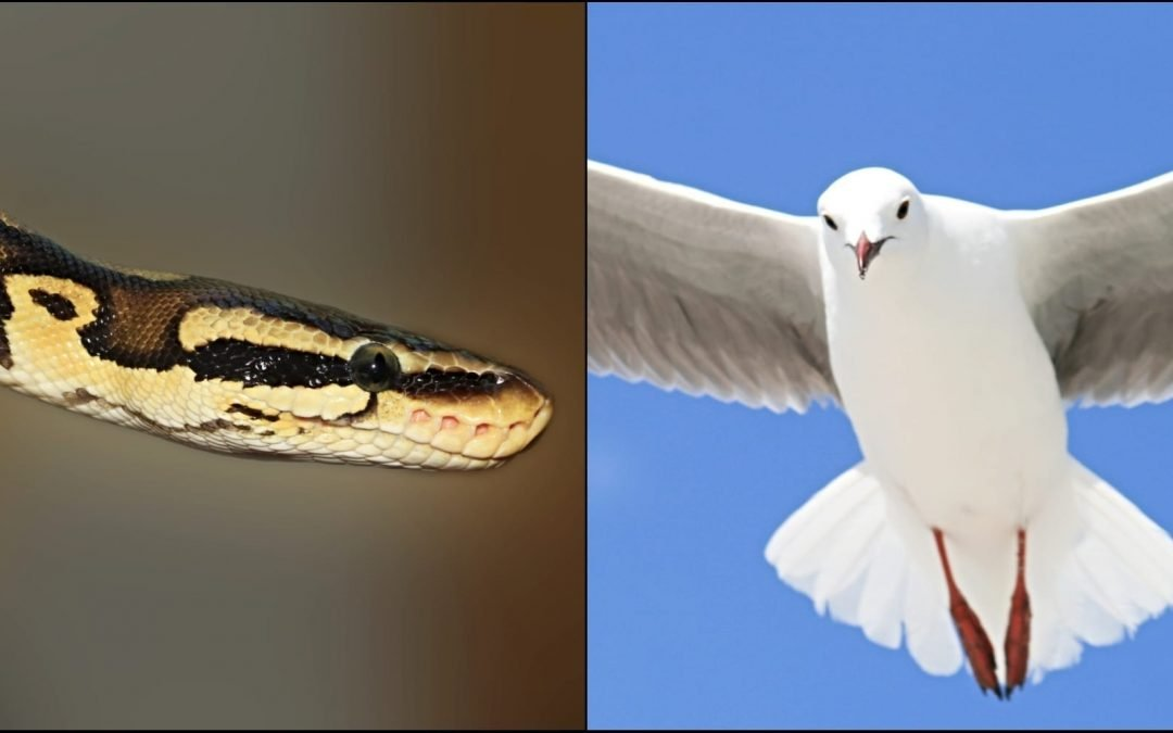 A split image with a snake on one side and a dove on the other side