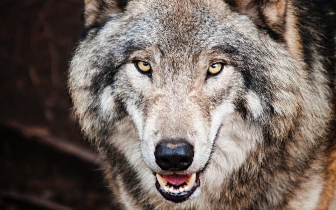 Fear Not, COVID-19! You're Only Making the Wolf Bigger