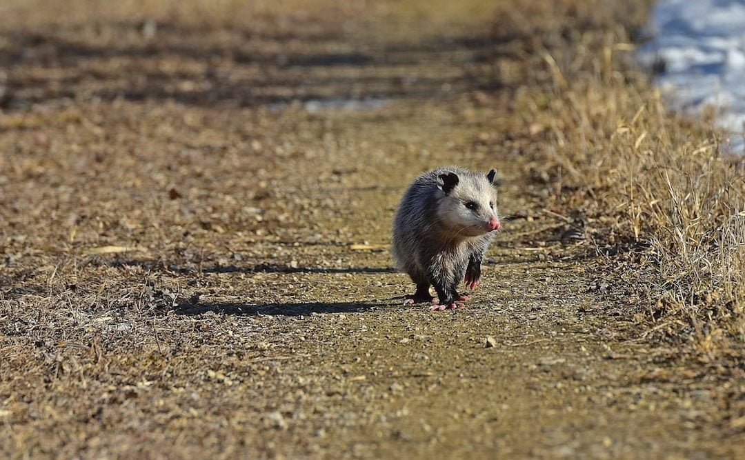 An opossum walking down a dirt road.