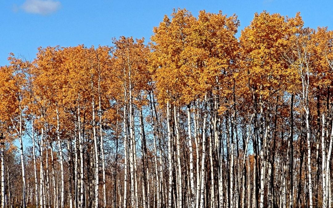 Trees with rust-colored leaves on top